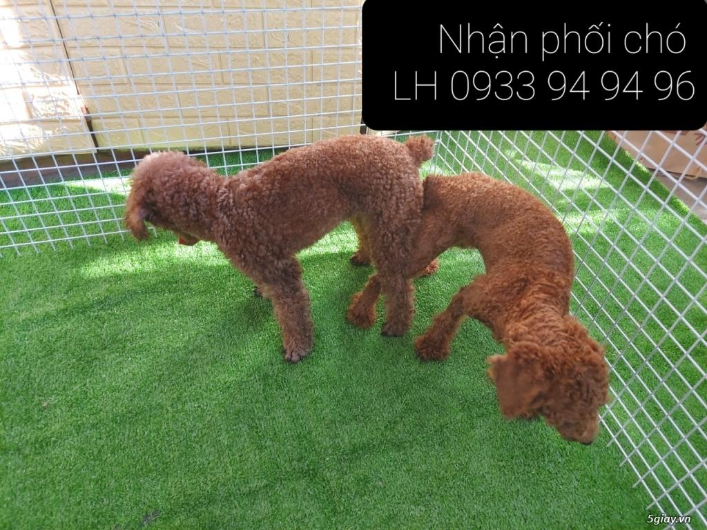 Phối giống chó Poodle tại TPHCM - LH 0933949496 - 21