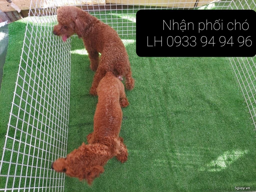 Phối giống chó Poodle tại TPHCM - LH 0933949496 - 3