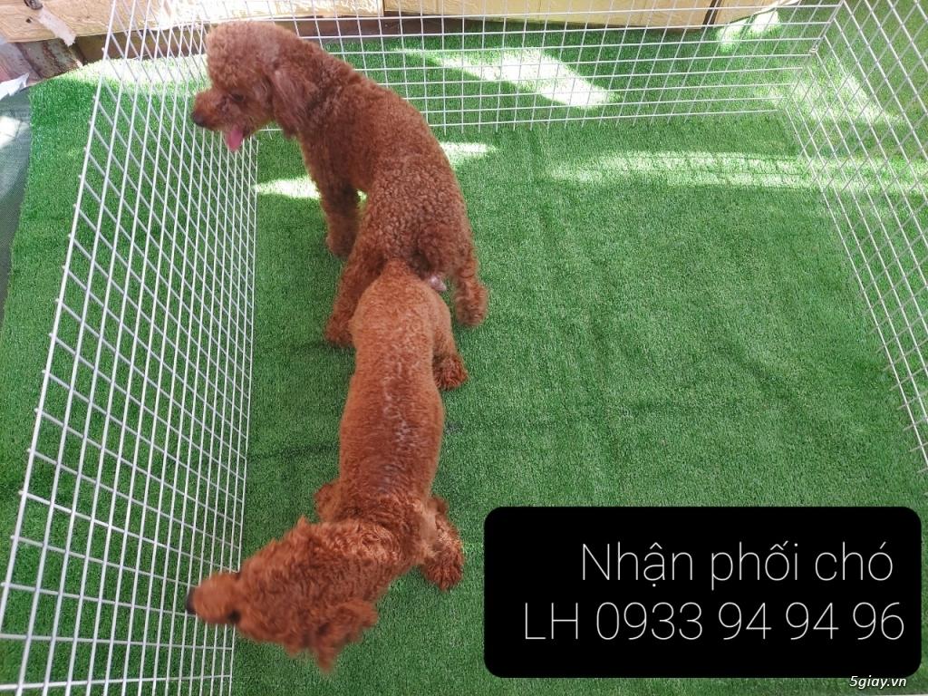 Phối giống chó Poodle tại TPHCM - LH 0933949496 - 20